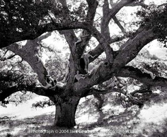 Jack Gescheidt tree spirit project AncientOakJourney